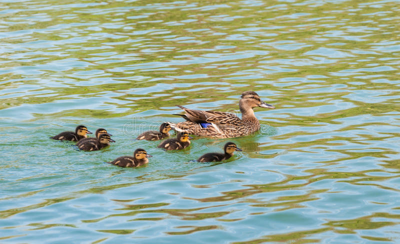 Wild duck with duckling royalty free stock photography