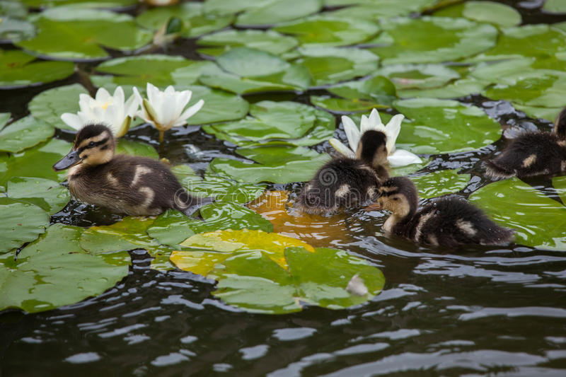 Wild duck ducklings Anas platyrhynchos. Swimming in the star lotuses Nymphaea nouchali stock image