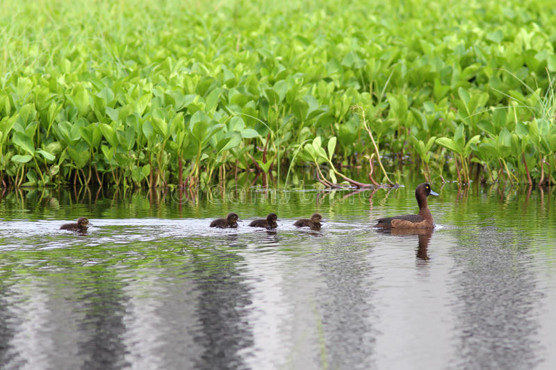 Wild duck with ducklings. Duck with ducklings on the lake in Siberia stock photography