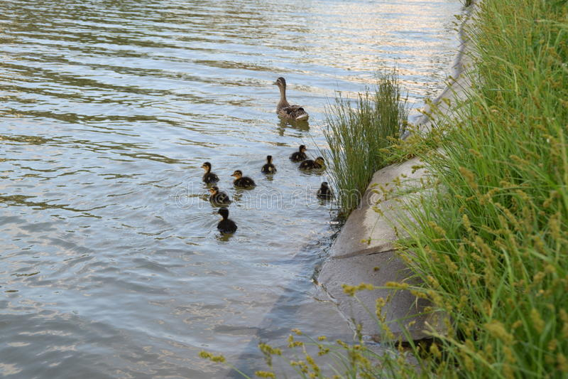 Wild duck and ducklings sailing near the green grass. A Wild duck and ducklings sailing near the green grass stock photos