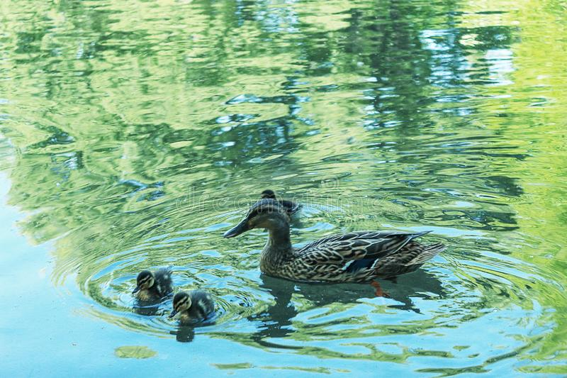 Wild duck with ducklings royalty free stock photos