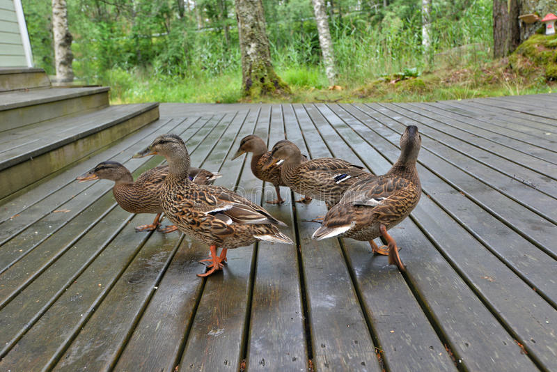 Wild duck family. Brown wild duck family on wooden deck royalty free stock images