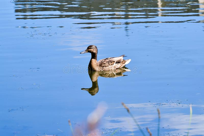 Wild duck female at the bank of the river stock photo