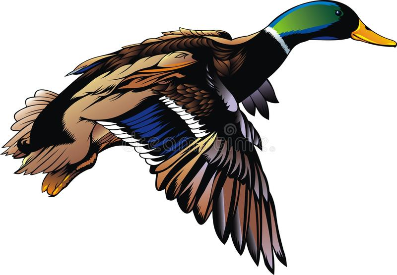 Wild duck vector illustration