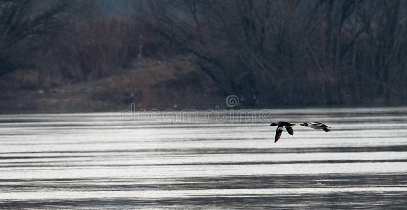Wild duck is flying. A wild duck is flying over the river. On the river Danube in Slovakia stock photos