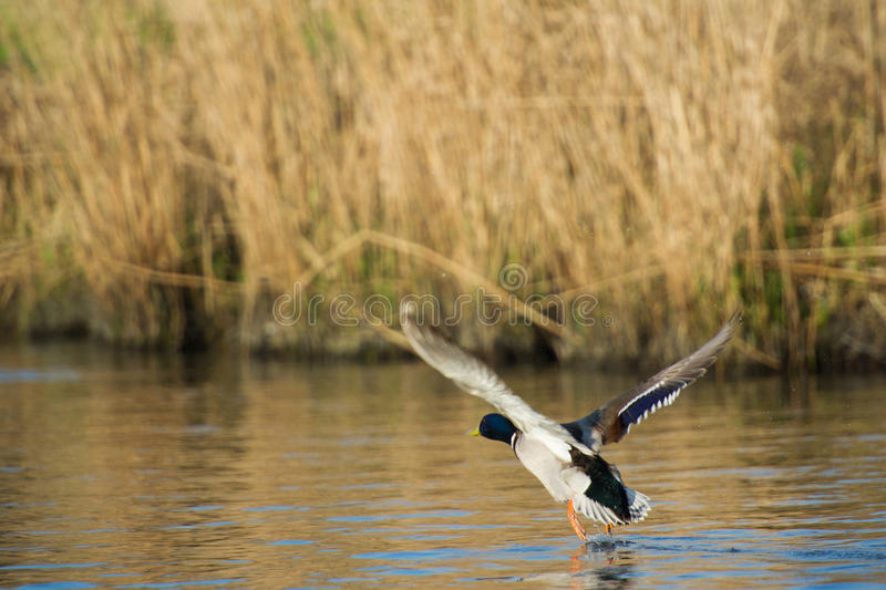 Wild duck flying up from the water. Wild male duck flying up from the water stock photography