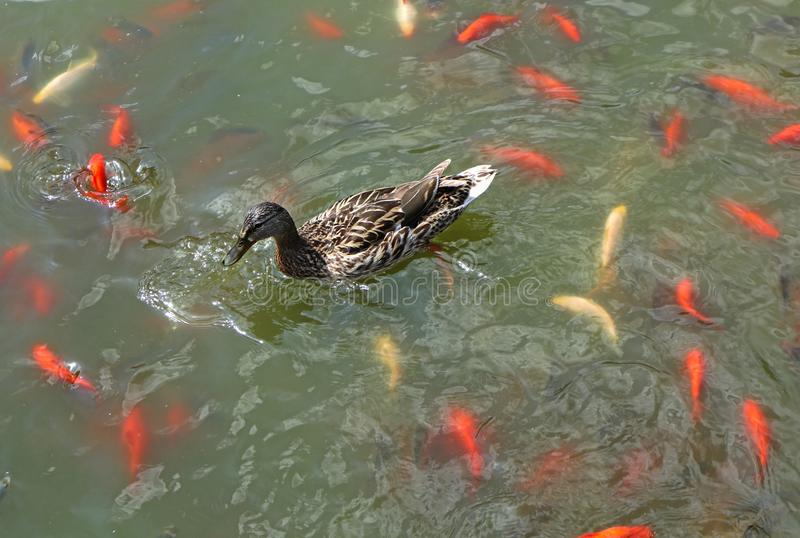 Wild duck and golden fish in the lake. V royalty free stock photography