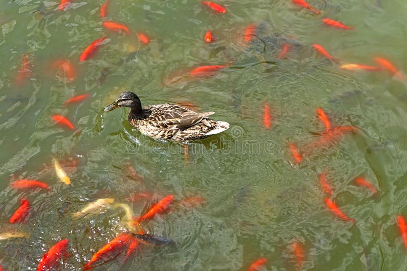 Wild duck and golden fish in the lake. V stock photo