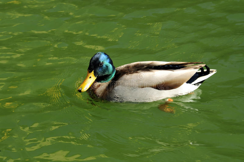 Wild duck. On the green water The Anatidae are the biological family of birds that includes ducks, geese, and swans. The family has a cosmopolitan distribution royalty free stock image