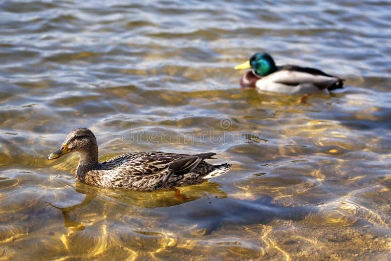 Wild duck, Jablonec nad Nisou, Czech Republic stock photography