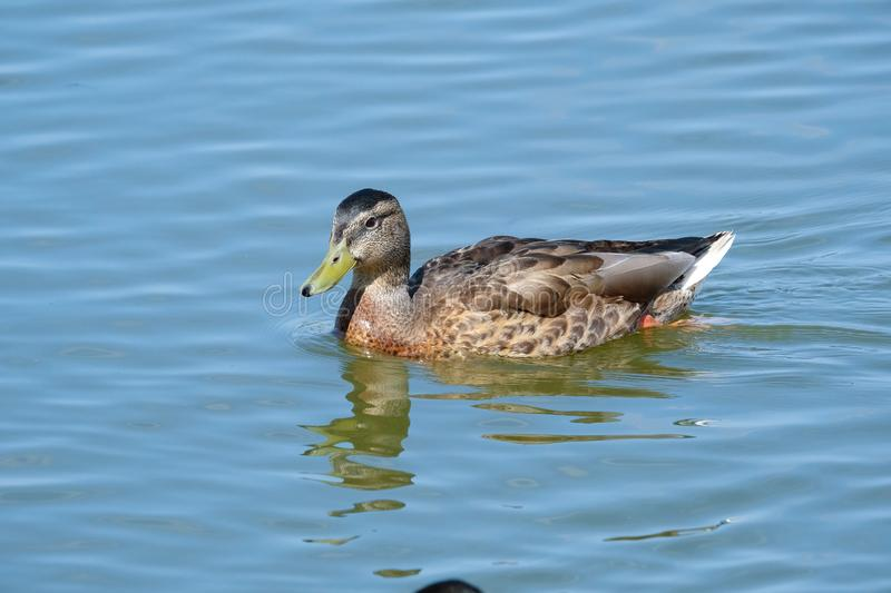 Wild Duck on a lake royalty free stock photography