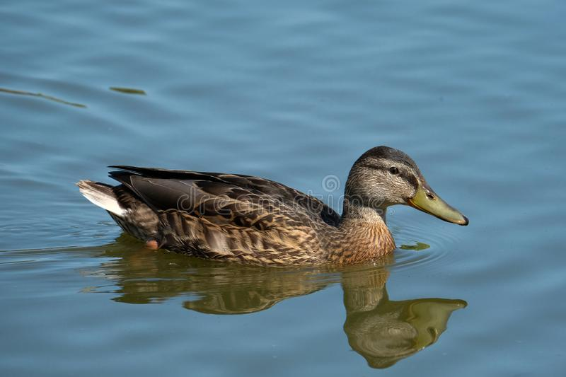 Wild Duck on a lake royalty free stock image