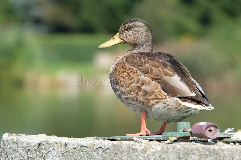 Wild Duck on a lake stock image