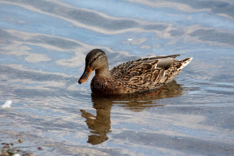 Wild duck with light to dark brown feathers swimming in calm clear river stock images