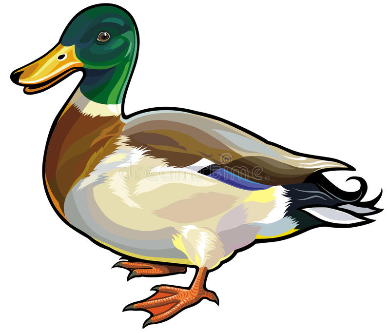 Wild duck. Mallard duck male side view illustration isolated on white background