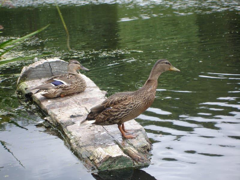 Wild duck. Wild mallard duck in a pond royalty free stock image