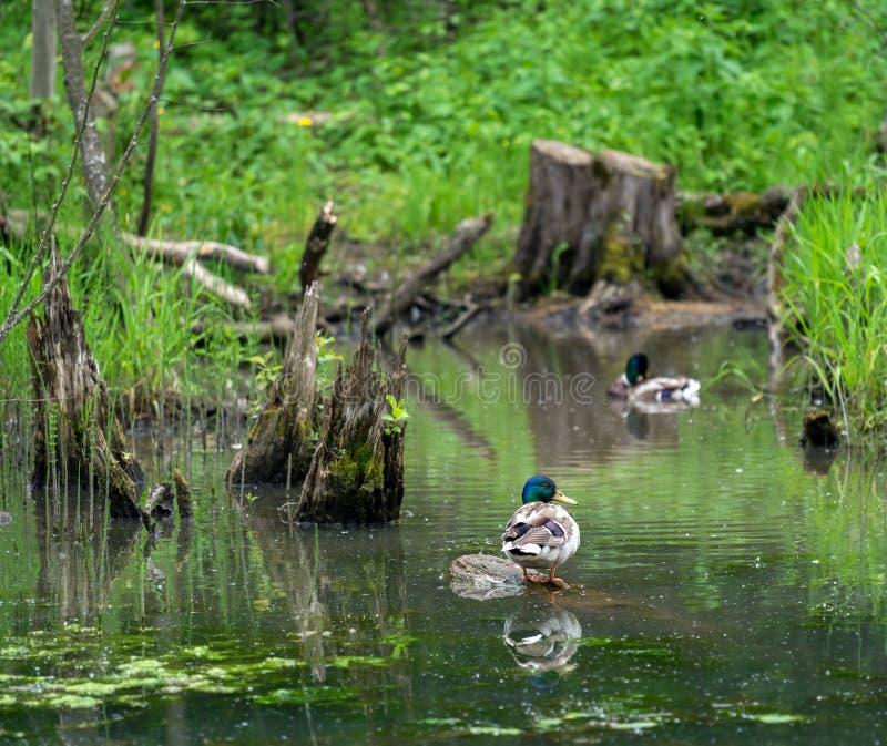 Wild duck mallard in pond stock photography
