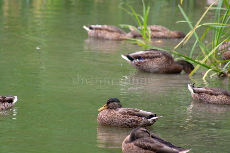 Wild duck in nature stock photo