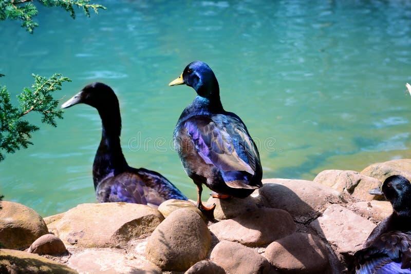 Wild duck near water. Wild duck near blue lake water royalty free stock image