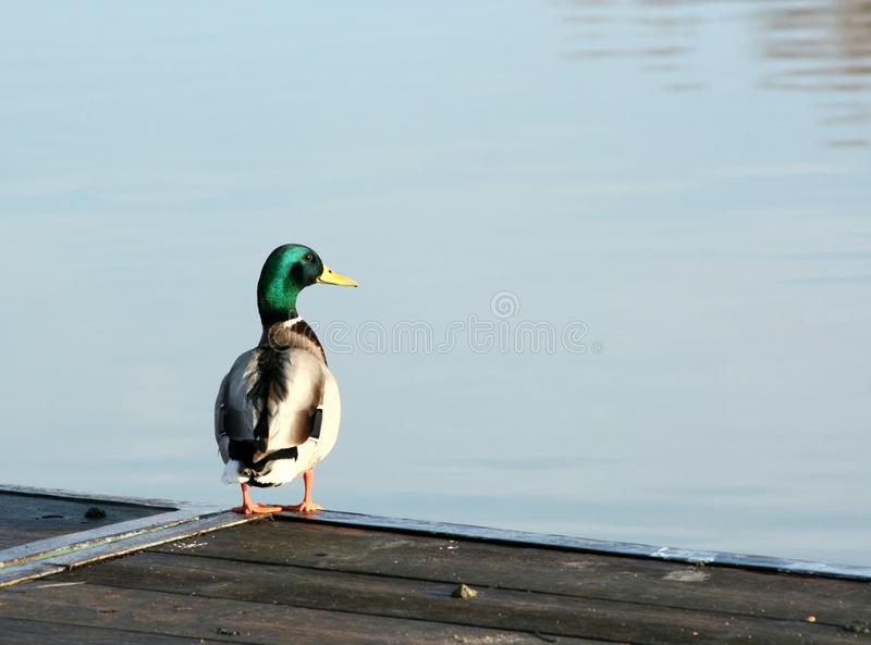 Download Wild duck stock image. Image of wing, wild, duck, nature - 33244297