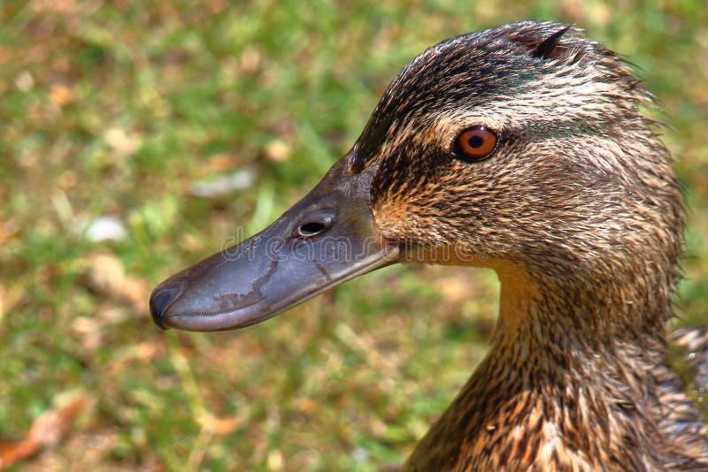 Wild duck portrait stock photo
