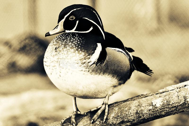 A wild duck sits on a log royalty free stock images
