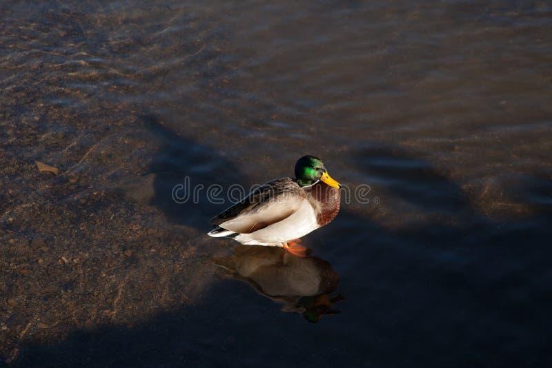 Wild duck in St. Moritz, Switzerland. royalty free stock images