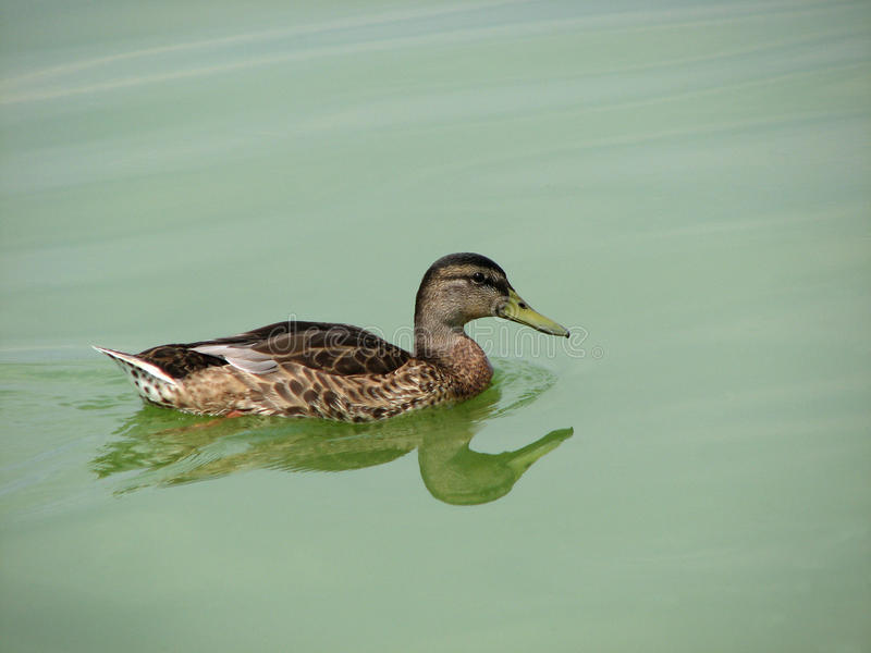Wild duck. Is swimming on the water surface of the river royalty free stock image