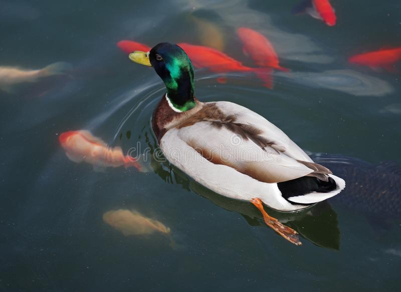 The wild duck swims in a pond with red fishes stock images