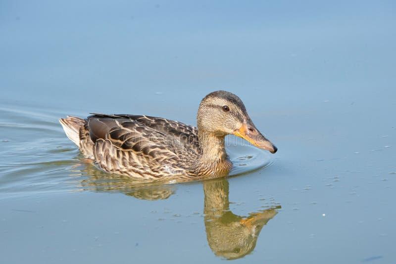 The Wild Duck stock photo
