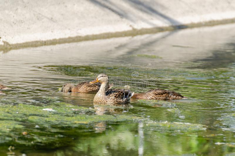 Wild ducklings fed in the reeds. royalty free stock images