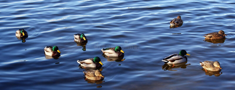 Download Wild ducks stock image. Image of reflected, swim, three - 27369723