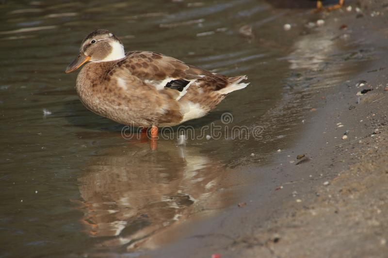 Wild ducks on a beach of an inner lake on the Veluwe in the Netherlands. stock image