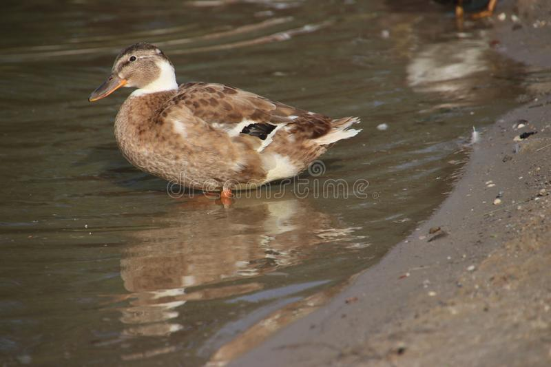 Wild ducks on a beach of an inner lake on the Veluwe in the Netherlands. stock images