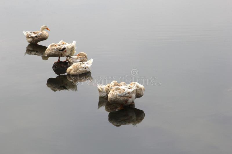Wild ducks can transfer bird flu,H5N1, H5N8 and H7N9 viruses to Asia, Europe and USA stock photo