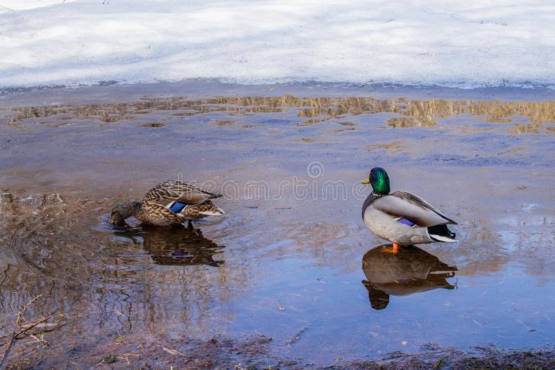 Wild ducks in the city Park in spring royalty free stock images