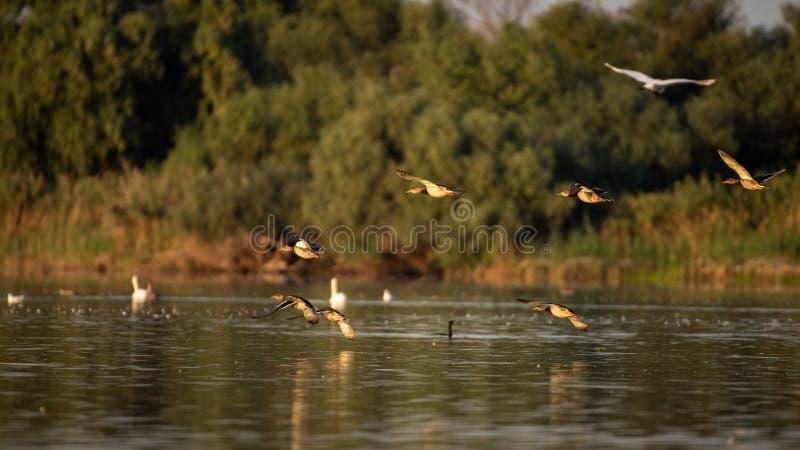 Wild ducks in Danube Delta , wildlife bird watching in Romania stock photos
