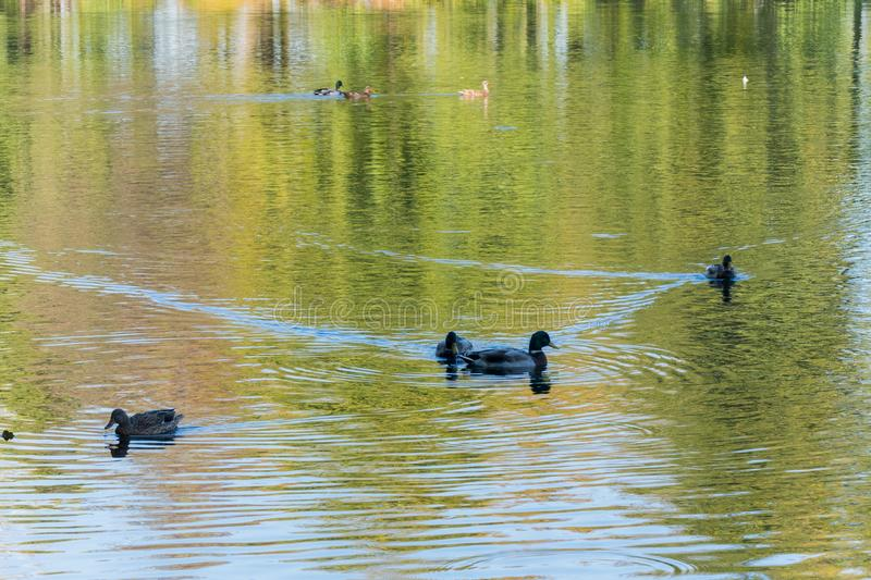 Wild ducks float along the lake, which reflects the ravine and the sky. For your design royalty free stock images