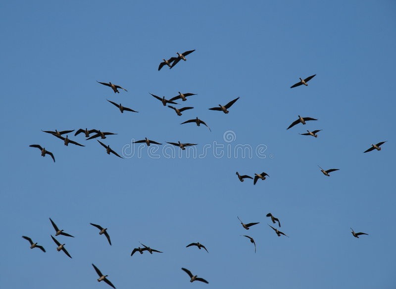 Download Wild Ducks Flying In The Air Stock Image - Image: 4801453