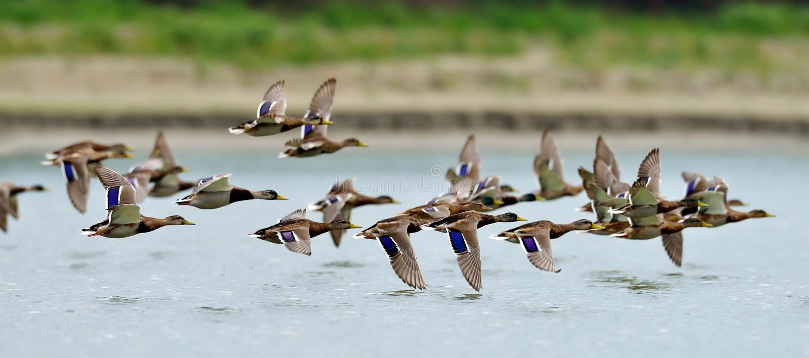 Wild ducks flying over the lake. In spring stock photo