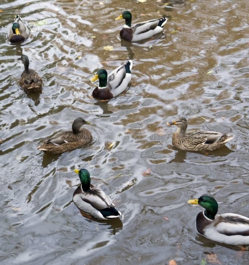Download Wild ducks stock image. Image of cute, nobody, level - 32450917