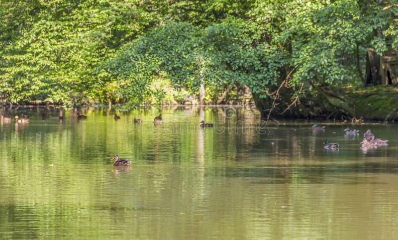 Wild ducks in a idyllic pond stock photos