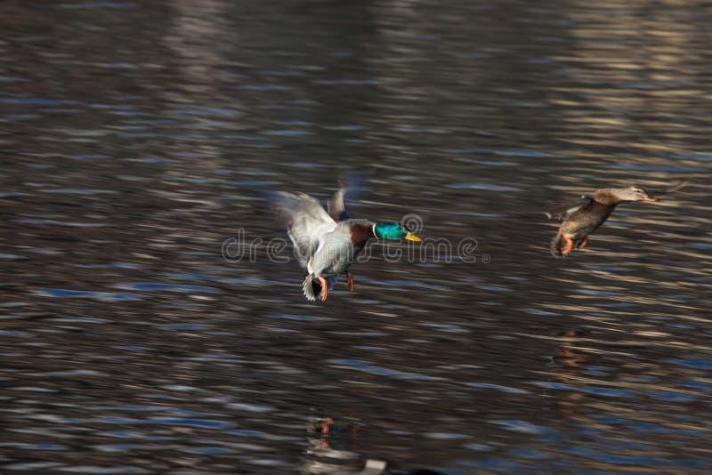 Wild ducks landing in St. Moritz, Switzerland. stock images