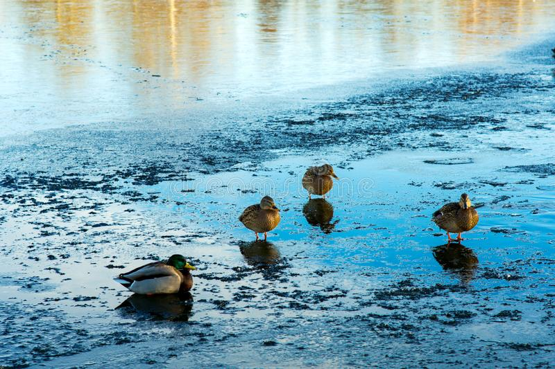 Wild ducks on the shore of a frozen pond on a sunny beautiful day. The male and three females heat up in the sunlight royalty free stock image