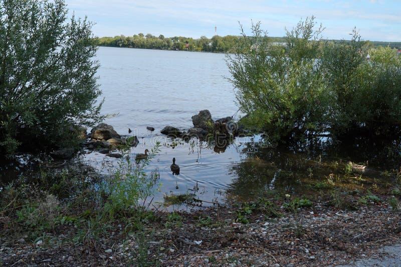 Wild ducks swim near the river. royalty free stock image