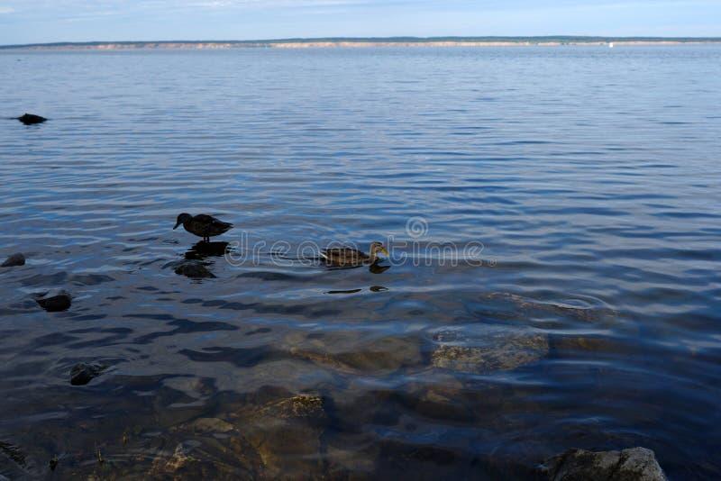Wild ducks swim near the river. royalty free stock photography