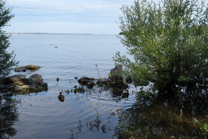 Wild ducks swim near the river. royalty free stock photo
