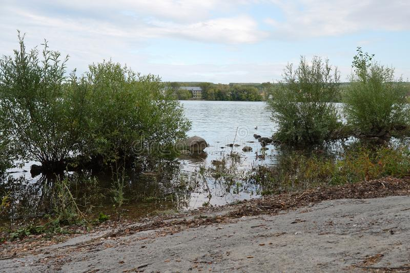 Wild ducks swim near the river. royalty free stock photos