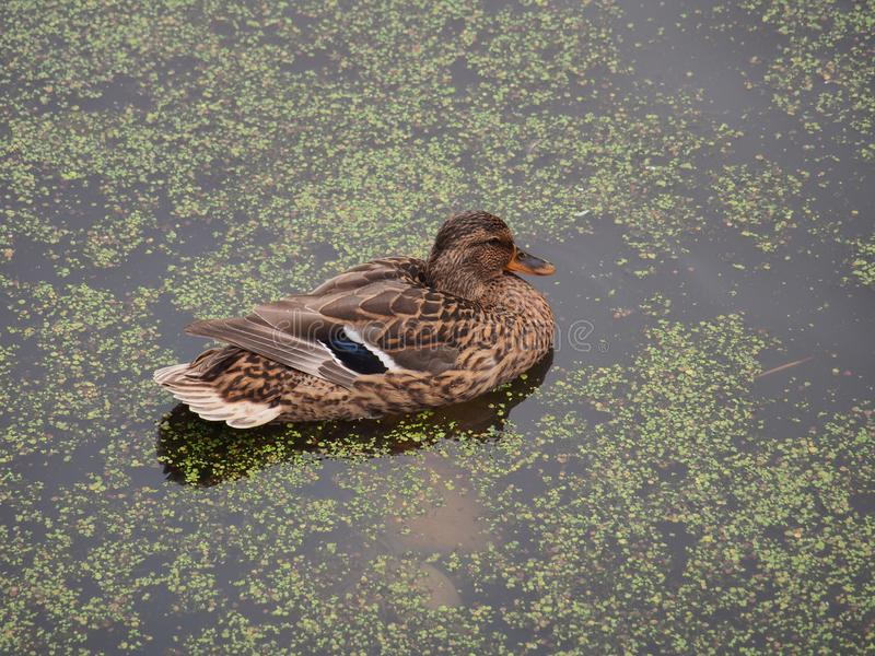 Wild ducks swim in the pond. The pond is heavily overgrown with stock photography