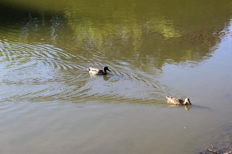 Wild ducks swim in the pond in the summer in the Botanical garden of Moscow. royalty free stock photo